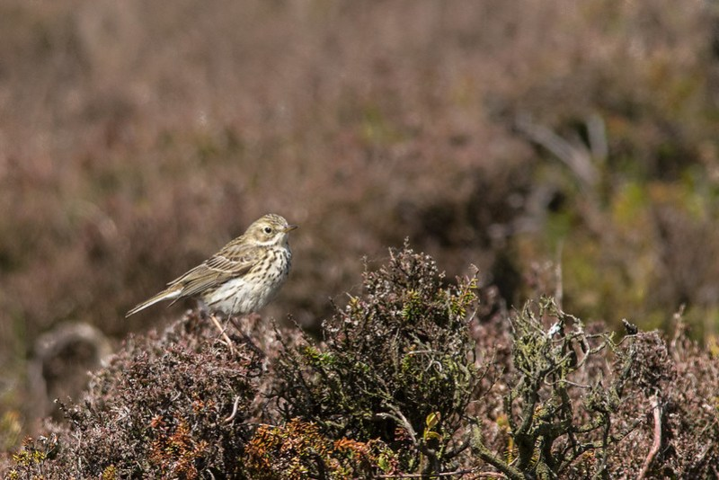Meadow Pipt perched up on the heather moorland