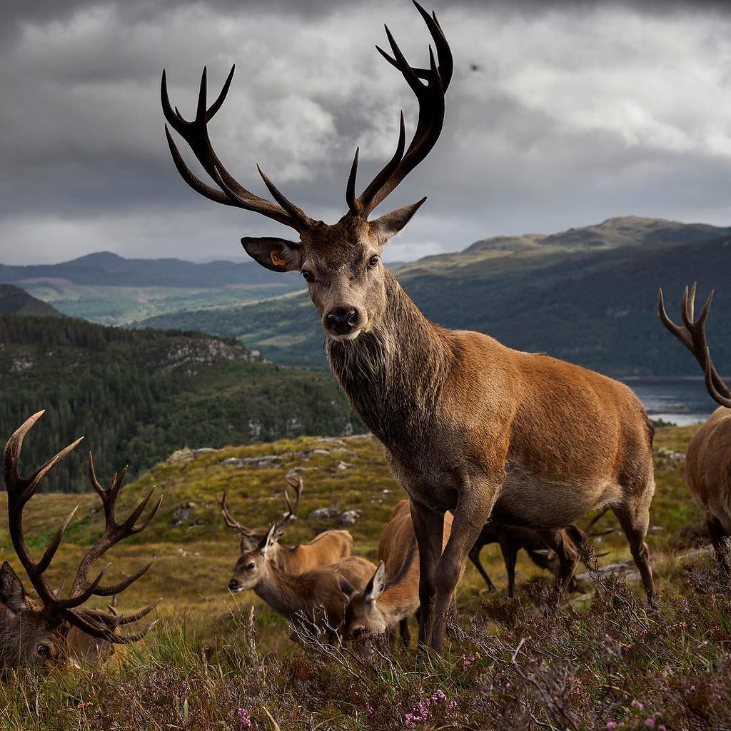 Wild Forest 3d Wallpaper Red Deer On The Moors Of Scotland At Reraig Forest Estate