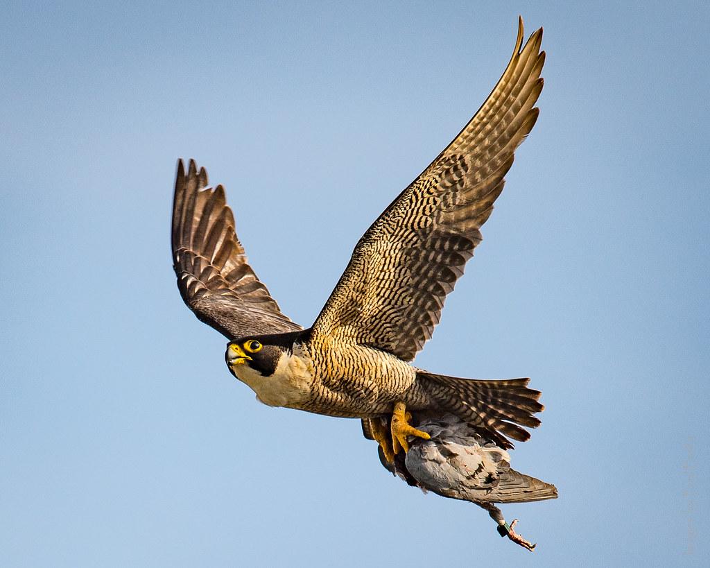 3d Colour Wallpaper Hunter And Hunted Colour Peregrine Falcon And Prey