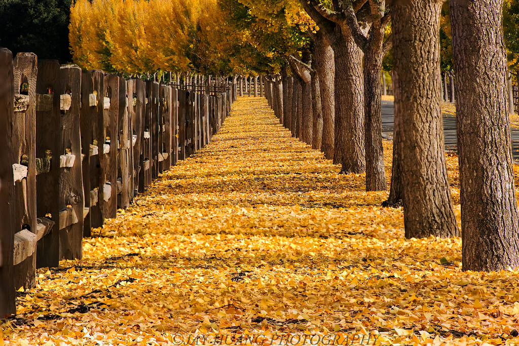 Free Fall Wallpaper 1024x768 Autumn Path A Ginkgo Leaves Covered Path In Napa Valley