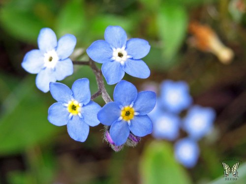 Medium Of Forget Me Not Seeds