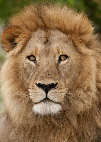 Portrait Wallpaper 3d Lion Portrait Tarique Sani Flickr