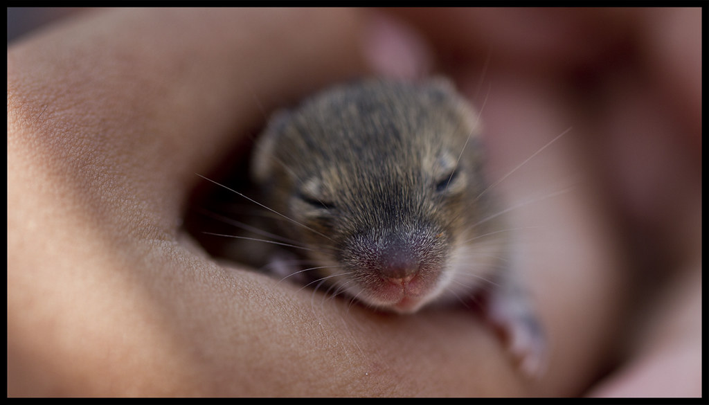Cute Mice Cute Baby Mice in the safe hands of another Cute\u2026 Flickr