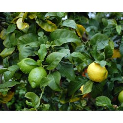 Small Crop Of Difference Between Lime And Lemon