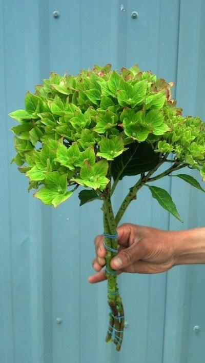 绿色的绣球花