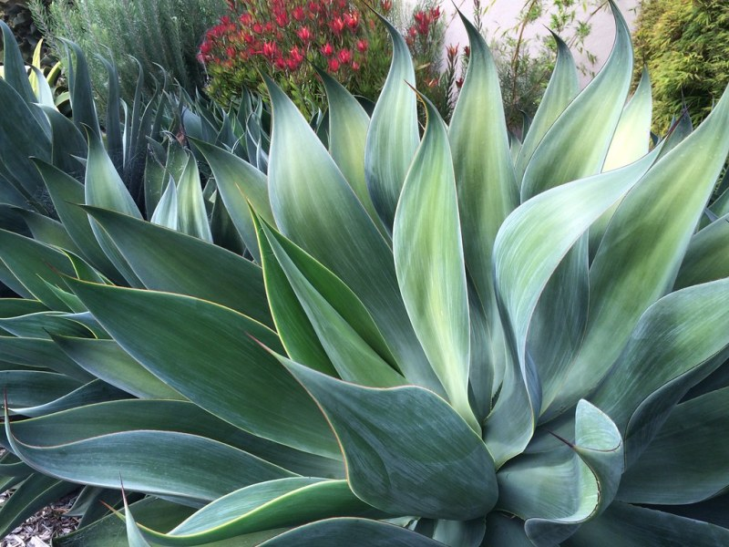 Large Of Agave Blue Flame