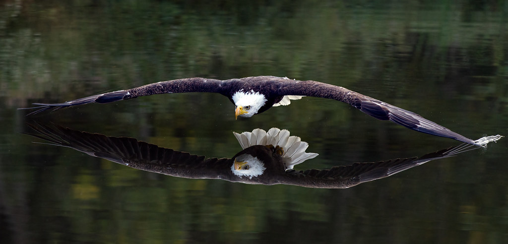 Can you see my reflection? (Bald Eagle) Explored Some peop\u2026 Flickr