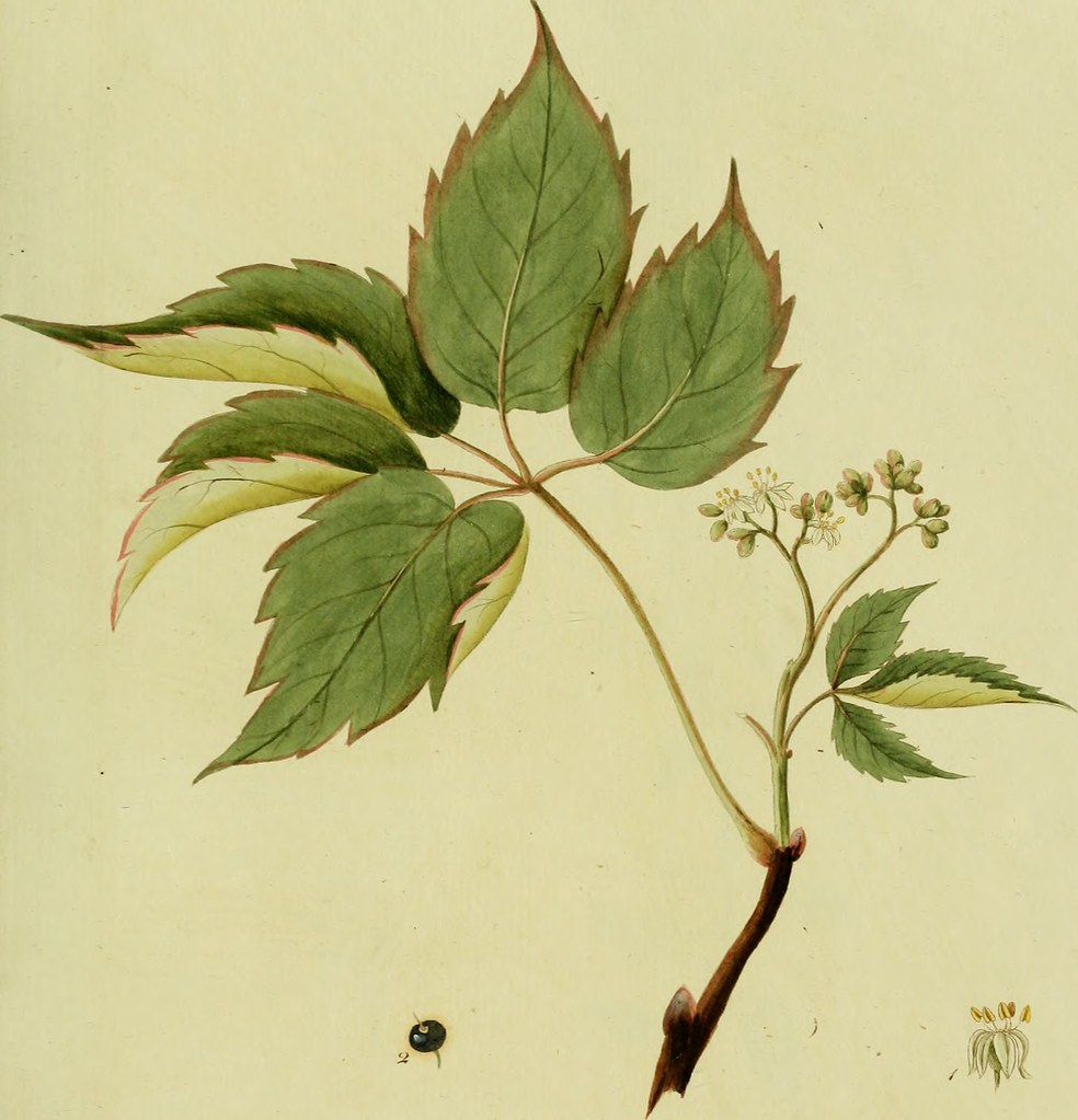 Ginseng In Deutschland Image From Page 118 Of