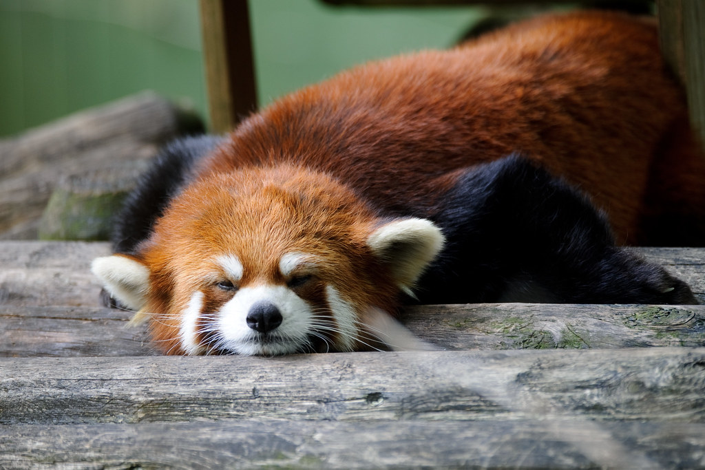 Cool 3d World Wallpaper Red Panda Keeping Cool On A Hot Day There Was A Mist