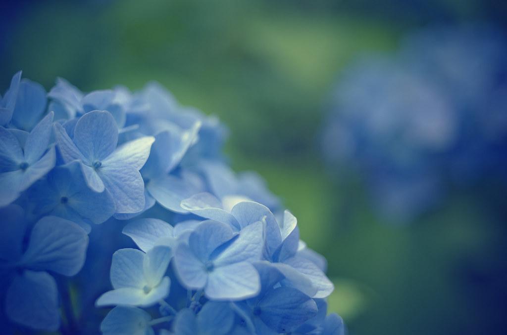 Free 3d Flower Wallpaper Hydrangea 紫陽花 Czj Electric Mc Flektogon F2 4 35mm