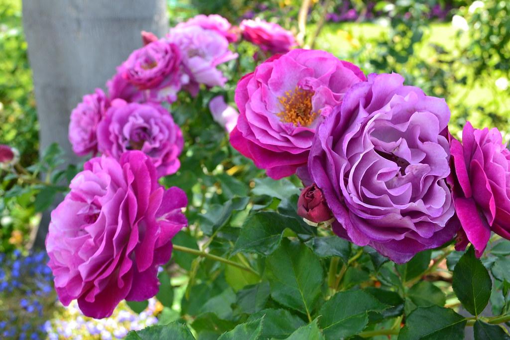 Purple 3d Wallpaper My Favorite Rose Wild Blue Yonder Marilyn Martin Flickr