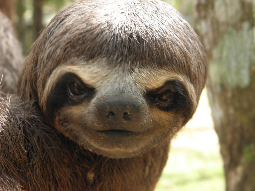 Cute Sloth Wallpaper Perezoso Asacoca Flickr
