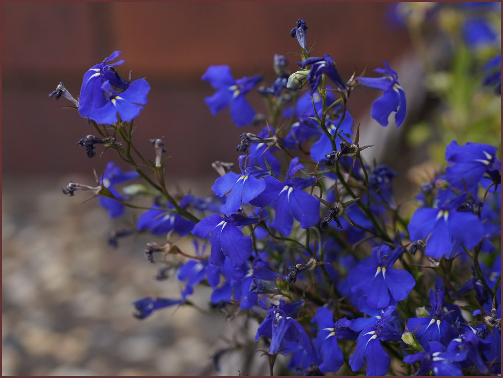 Blue Flowers Australia Blue Lobelia In My Garden Native To Southern Africa