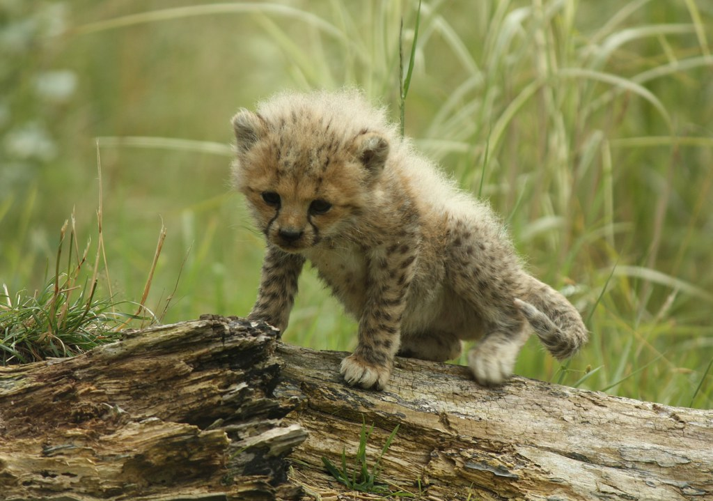 Wallpaper Cute Iphone Investigating Cheetah Cub Cheetah Enclosures At Chester