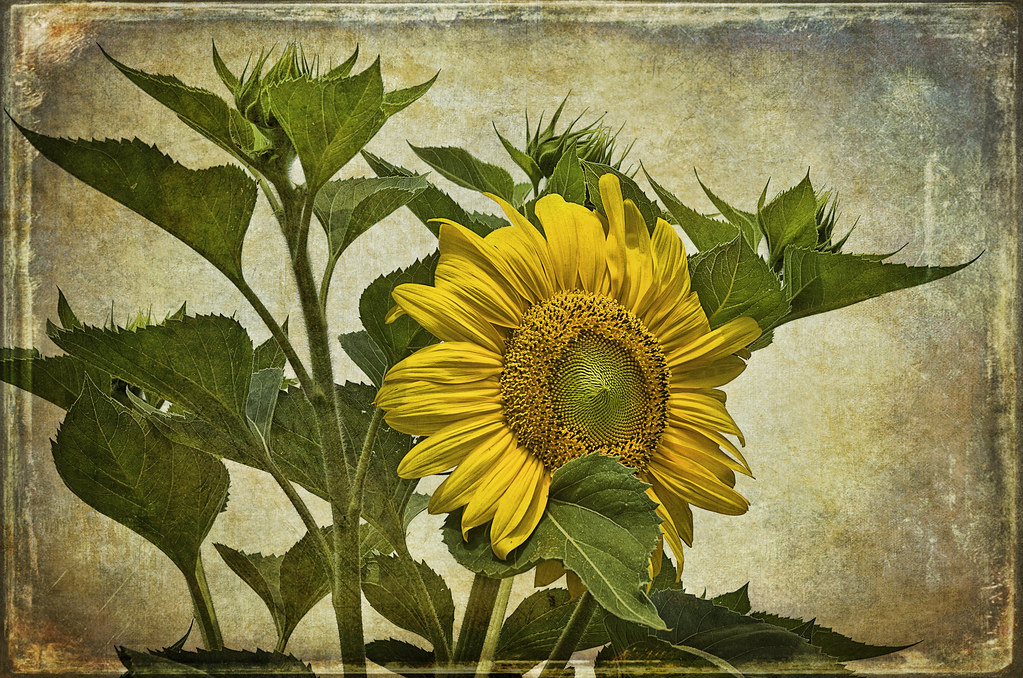 Fall Sunflowers Wallpaper Vintage Sunflower Ghostworks Texture Competition 43 One