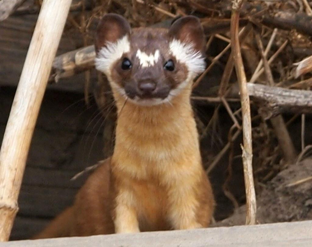 Wild Animals 3d Wallpapers Long Tailed Weasel Mustela Frenata Santa Cruz Co Ca 9