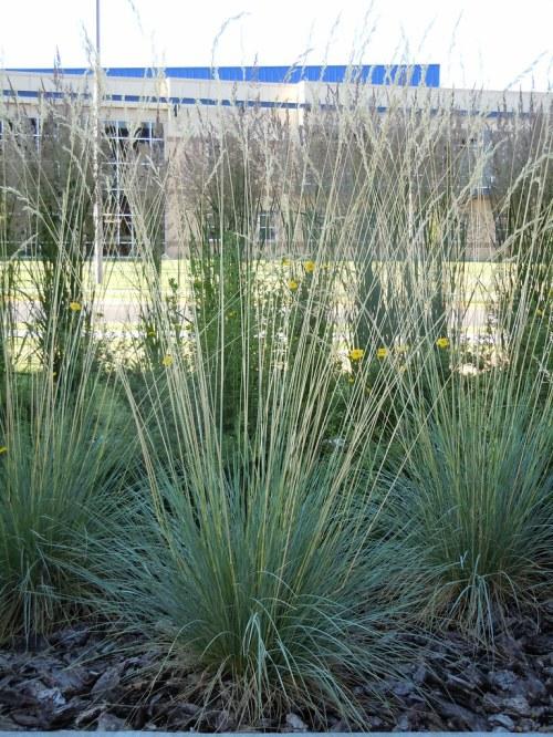 Medium Of Blue Oat Grass