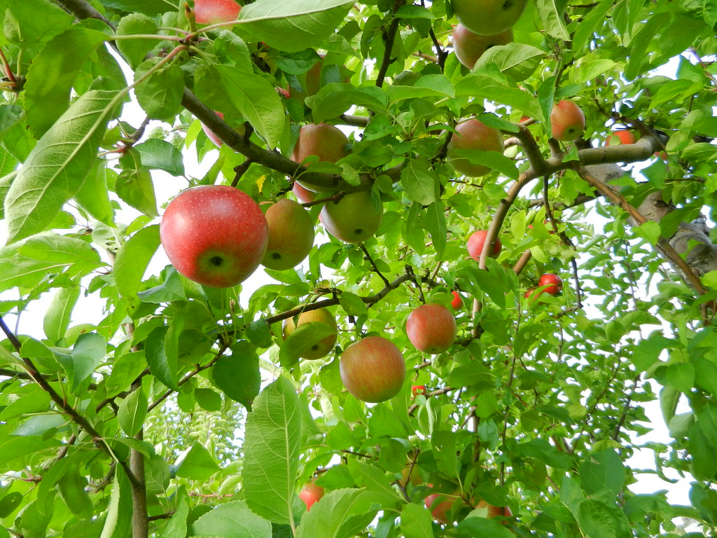Free Fall Forest Wallpaper Apple Picking At Autumn Hills Orchard Groton September 20