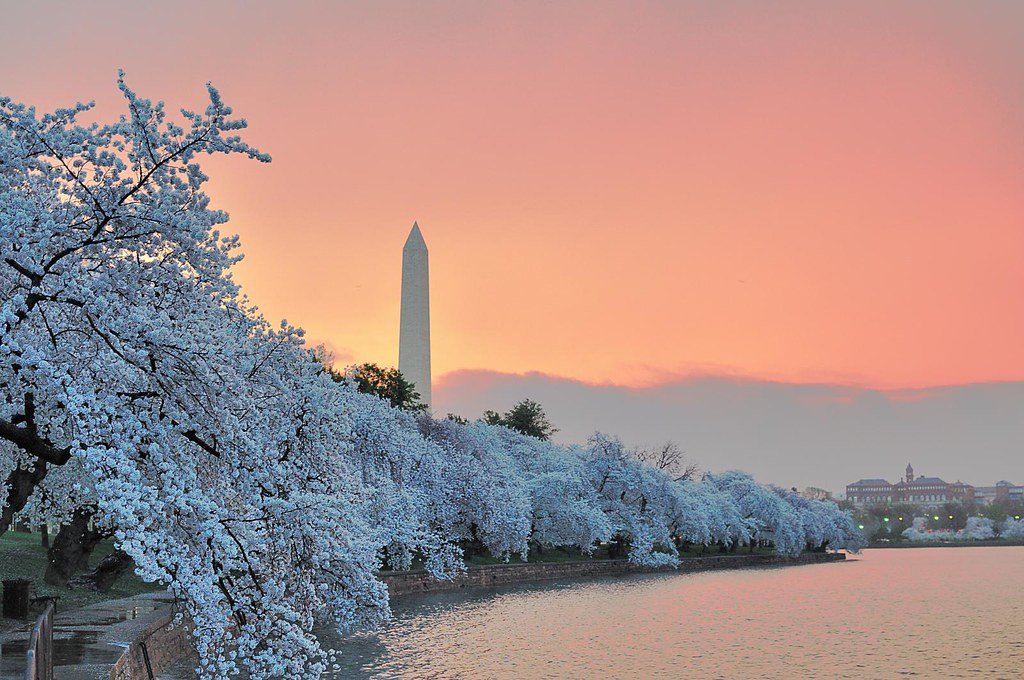 New 3d Wallpaper For Mobile Washington Monument With Cherry Trees At Dawn Fotos