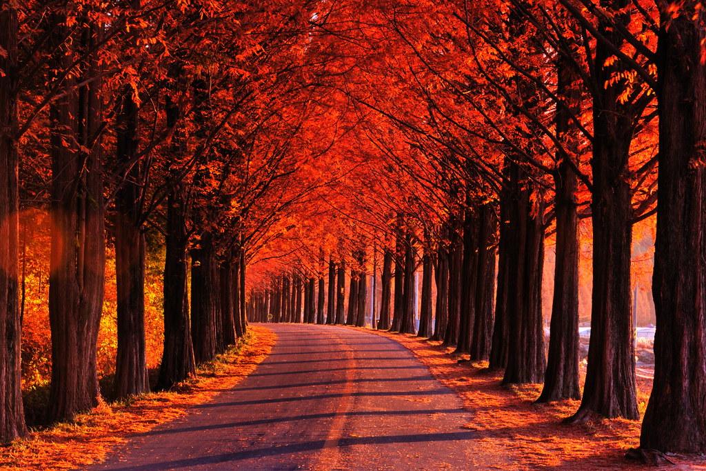 November Fall Wallpaper 담양 메타세콰이어길 담양 메타세콰이어길 Hl4rbc Flickr