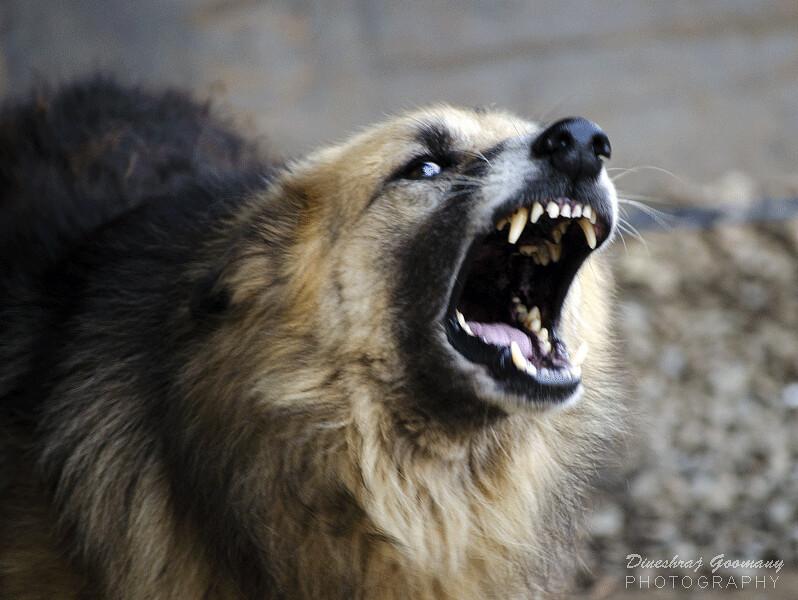 Tooth Cute Wallpaper Snarling Dog Dineshraj Goomany Flickr