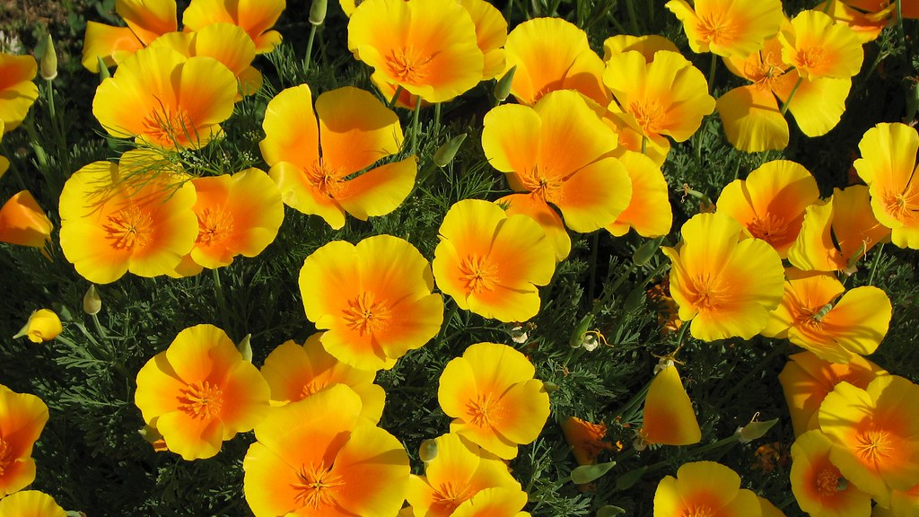 Free Hd Flower Wallpaper Beautiful Yellow California Poppies Hd Widescreen Desktop