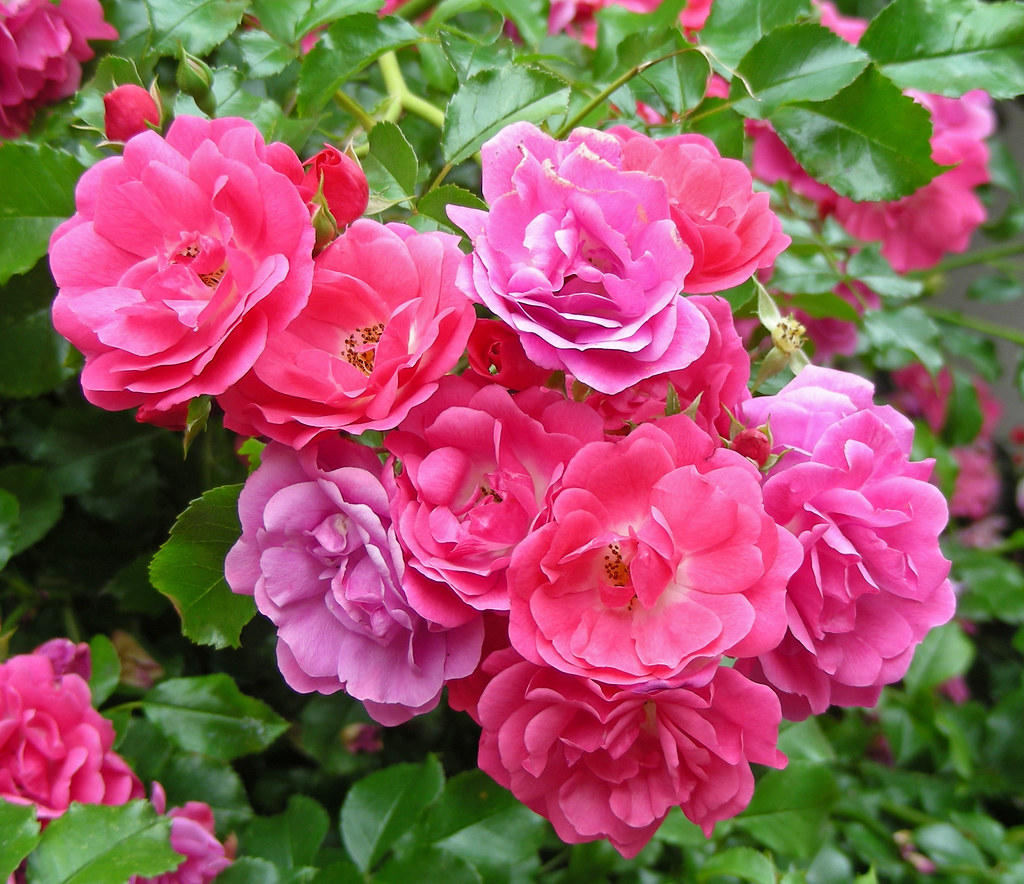 Rose Flower Garden Hd Wallpaper Wild Roses Pink Amp Purple This Bunch Of Wild Roses