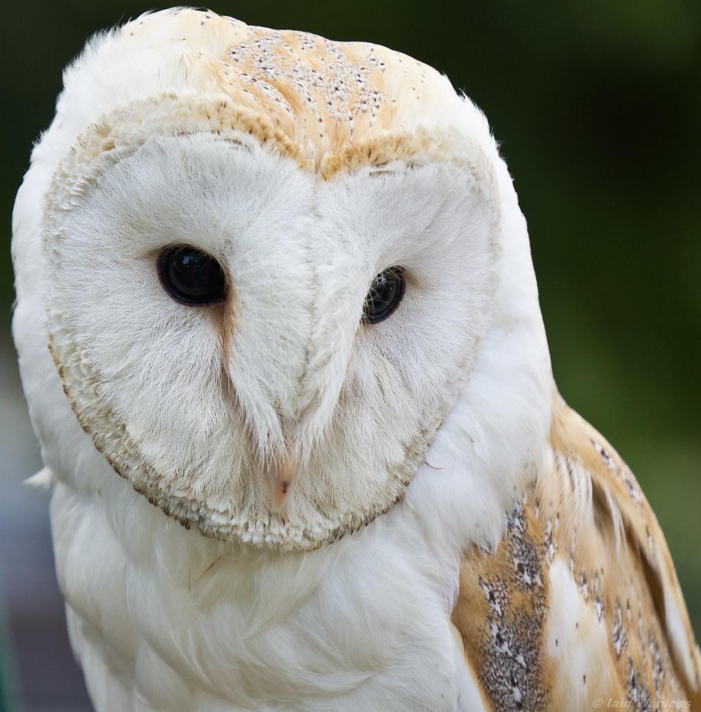 Cute Baby Blue Eyes Wallpaper White Owl Iain A Wanless Flickr