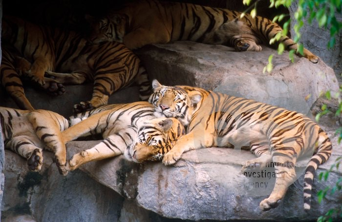 3d White Lion Wallpaper View Of Sleeping Tigers In The Tiger Enclosure At Samut Pr