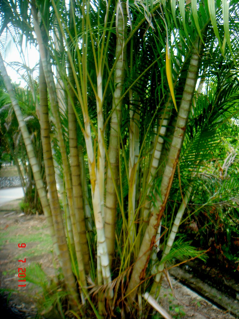 Artificial Areca Palm Tree Potted Plants Artificial Chrysalidocarpus Lutescens Bonsai Synthetic Indoor Coconut Tree Buy Artificial Chrysalidocarpus The Areca Palm Tree Chrysalidocarpus Lutescens Is A Great Palm
