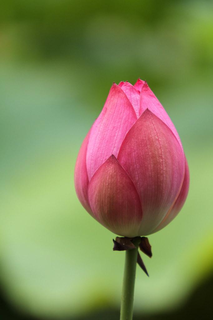Rose Flower Garden Hd Wallpaper Bud Located The Garden Of Kajuuji Temple Kyoto July