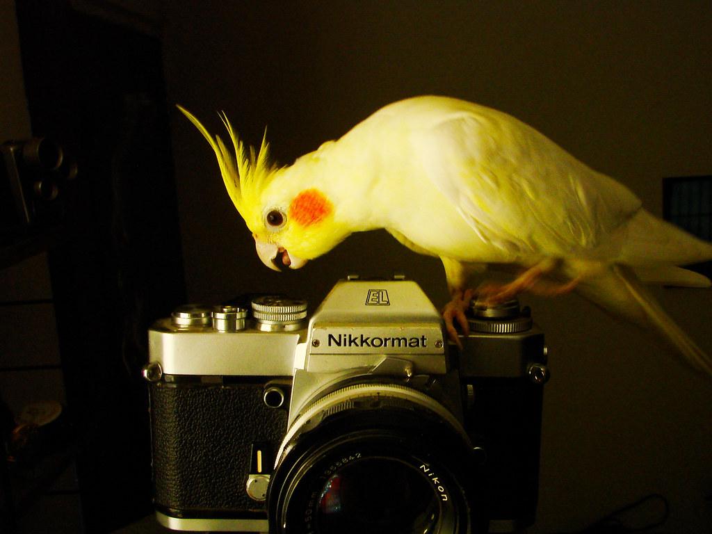 Cute Cockatiel Wallpaper She Take The Picture Juan P Cardenas Molina Flickr