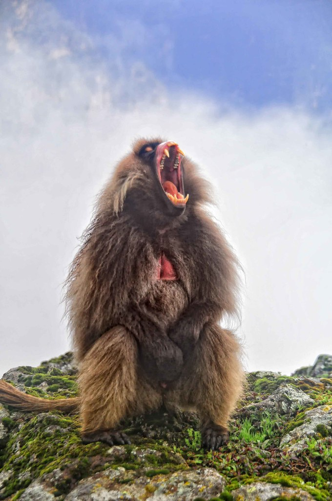 3d Lion Mobile Wallpaper Male Gelada Baboon Chenek Simien Mountains Also Known