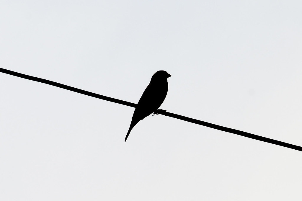Wallpaper Hd 3d Black And White Sparrow Silhouette She Observes The Bird Feeder In My