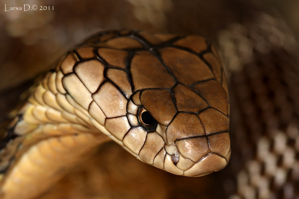 Veneno Hd Wallpaper Ophiophagus Hannah King Cobra Viperskin Flickr