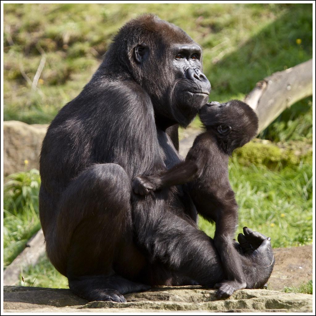 Africa 3d Pro Live Wallpaper Gorilla Moeder Mandji Met Dochter Iriki Uit De Apenheul
