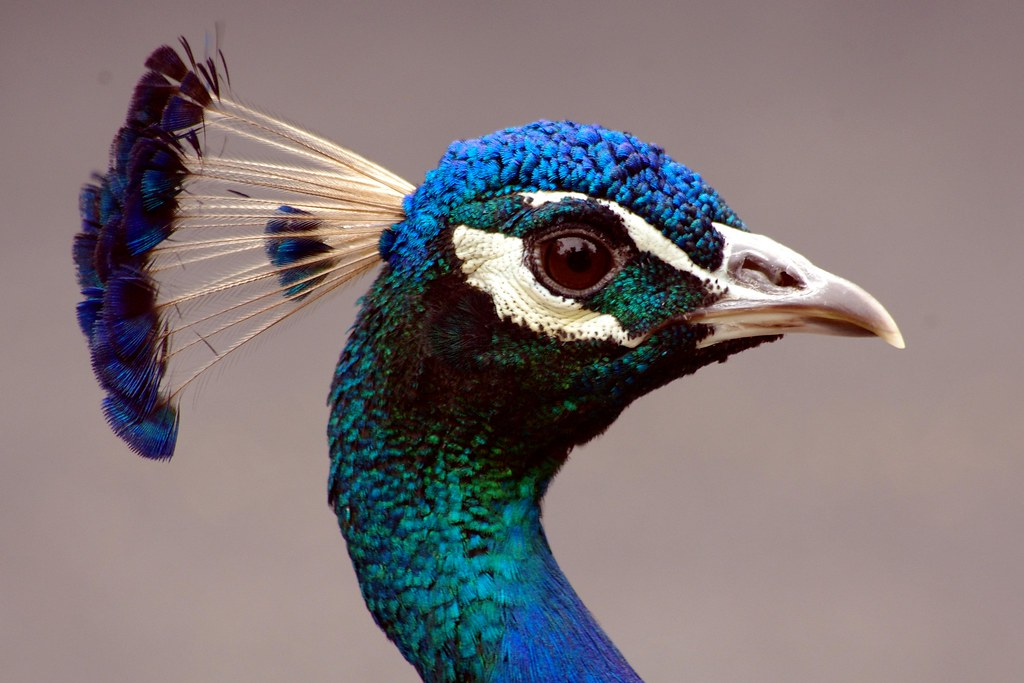 Domestic Animals Wallpaper Not Another Peacock Portrait Getty I Just Can T Help