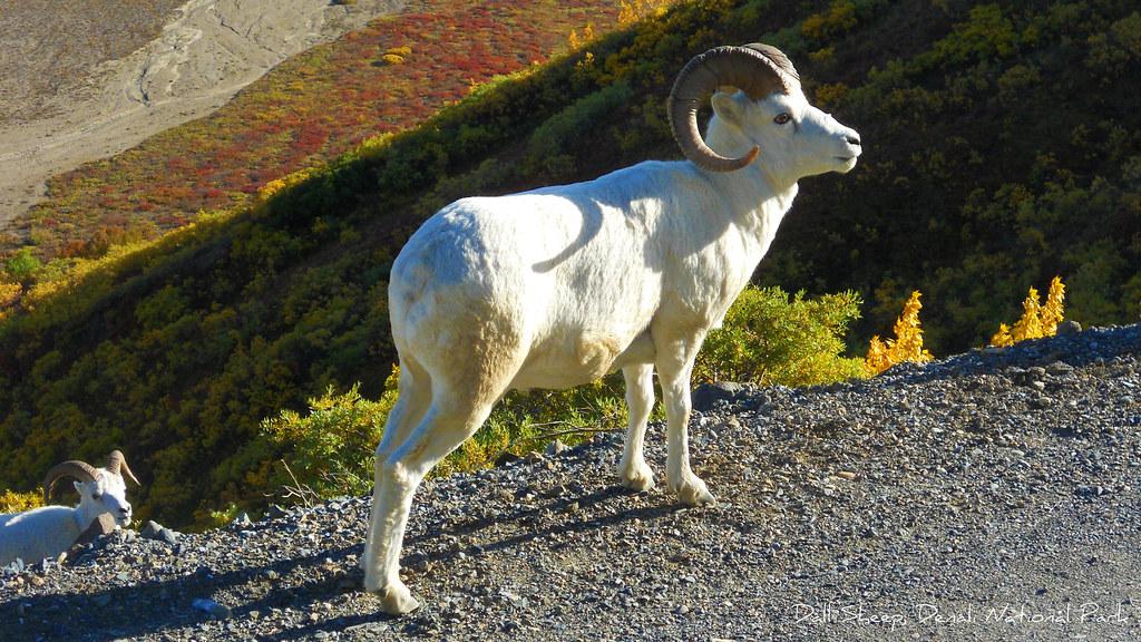 Free 3d Scenic Wallpaper Wildlife Animal Dall Sheep In Denali National Park