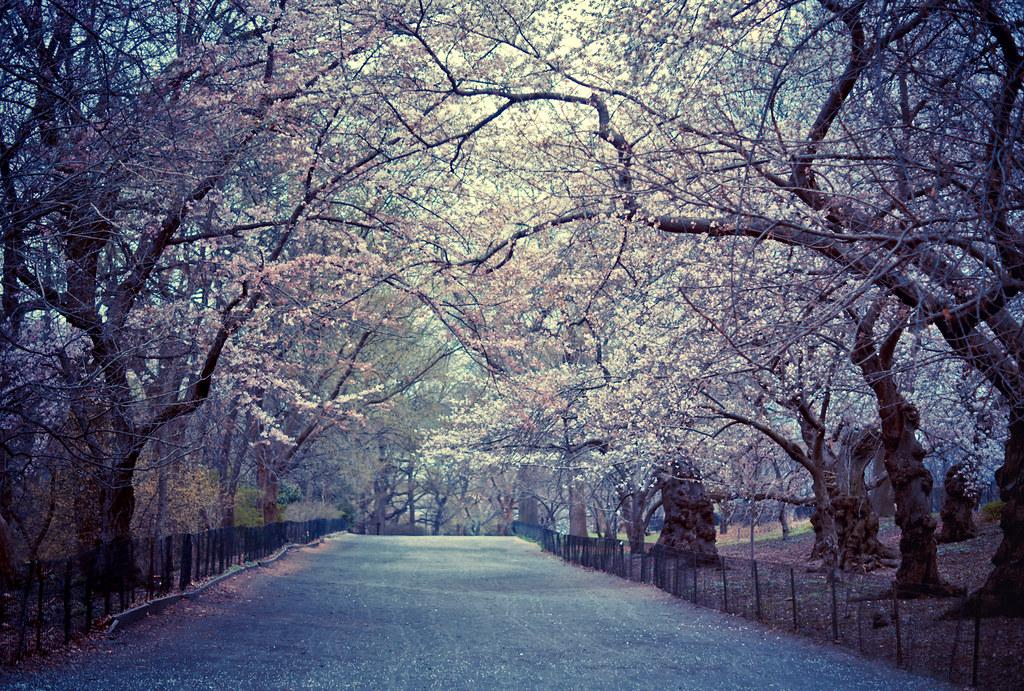 Romantic 3d Wallpaper Cherry Blossoms Spring Central Park New York City
