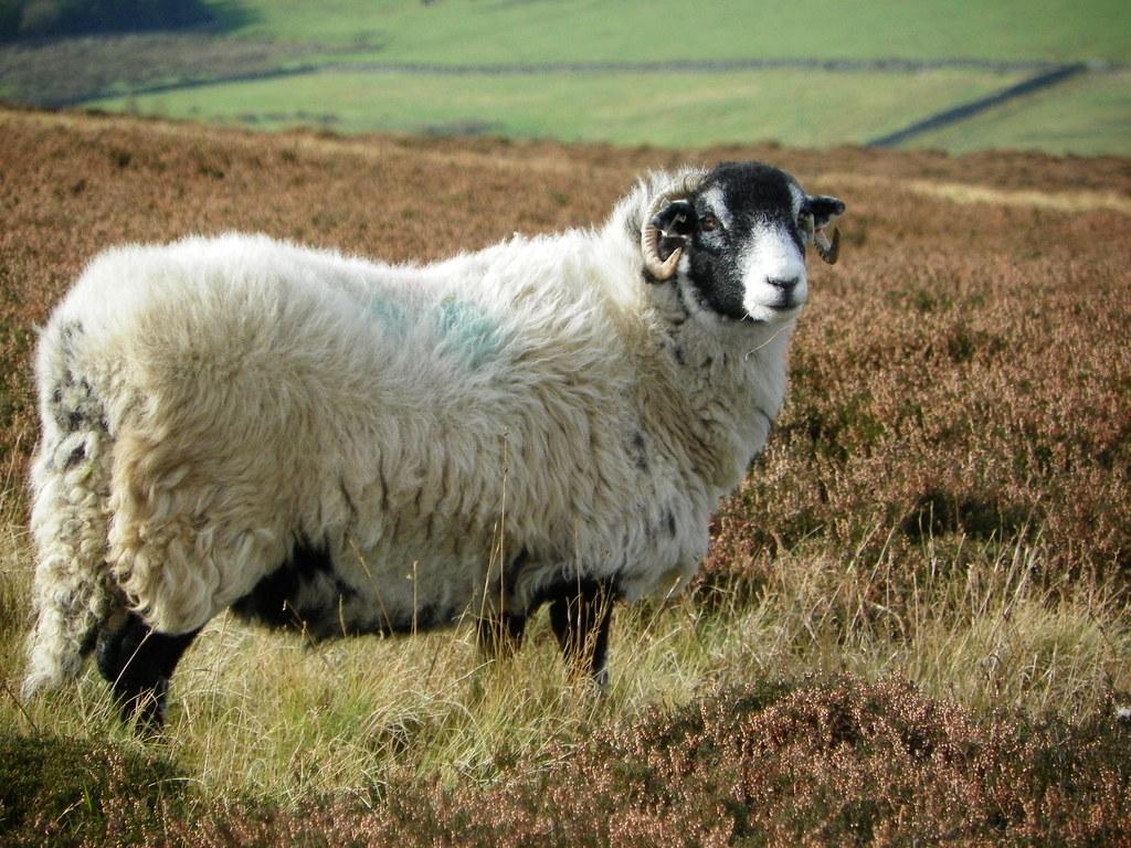 3d Scenery Wallpaper Swaledale Sheep The Durham Dales Please Visit My Website