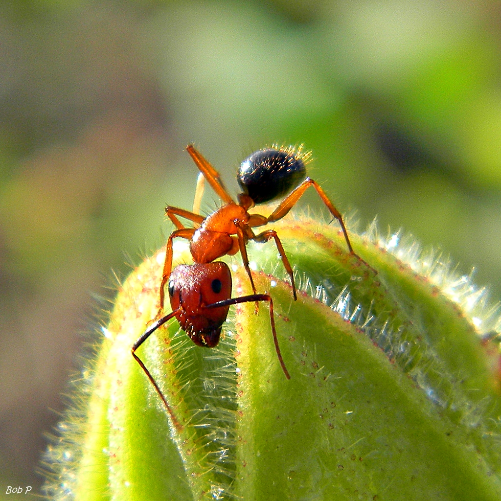Wallpaper Her 3d Fondness For Sweets This Florida Carpenter Ant