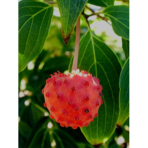 Medium Crop Of Kousa Dogwood Fruit