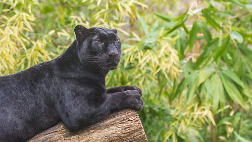 Black And White Animal Wallpaper Black Panther Lying On Tree Trunk John Van Beers Flickr