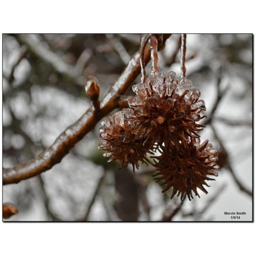 Medium Crop Of Sweet Gum Tree Balls