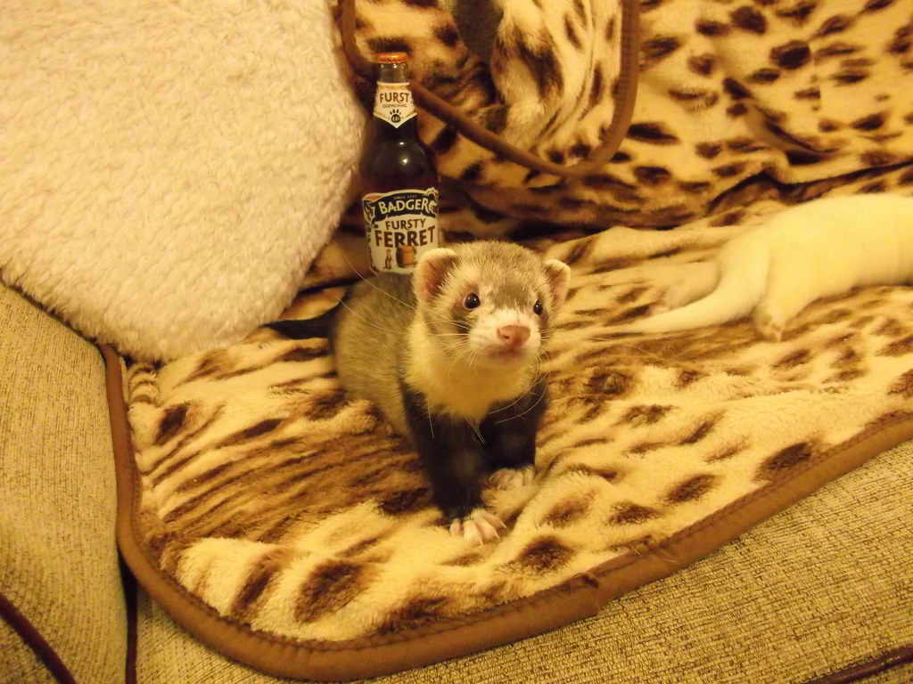 Frettchen Wallpaper Humbug A Fursty Ferret Hey Wizzie Sherbet S Passed Out Flickr