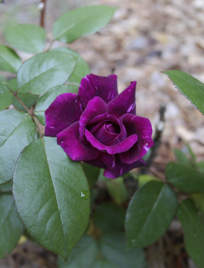 Large Of Blue Girl Rose