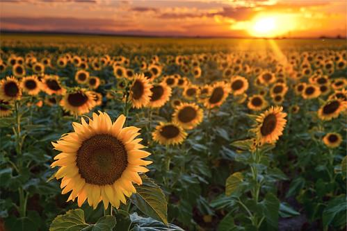 Fall Sunflower Desktop Wallpaper Sunflower Sunset I Ve Still Got Some Sunflower Pics From