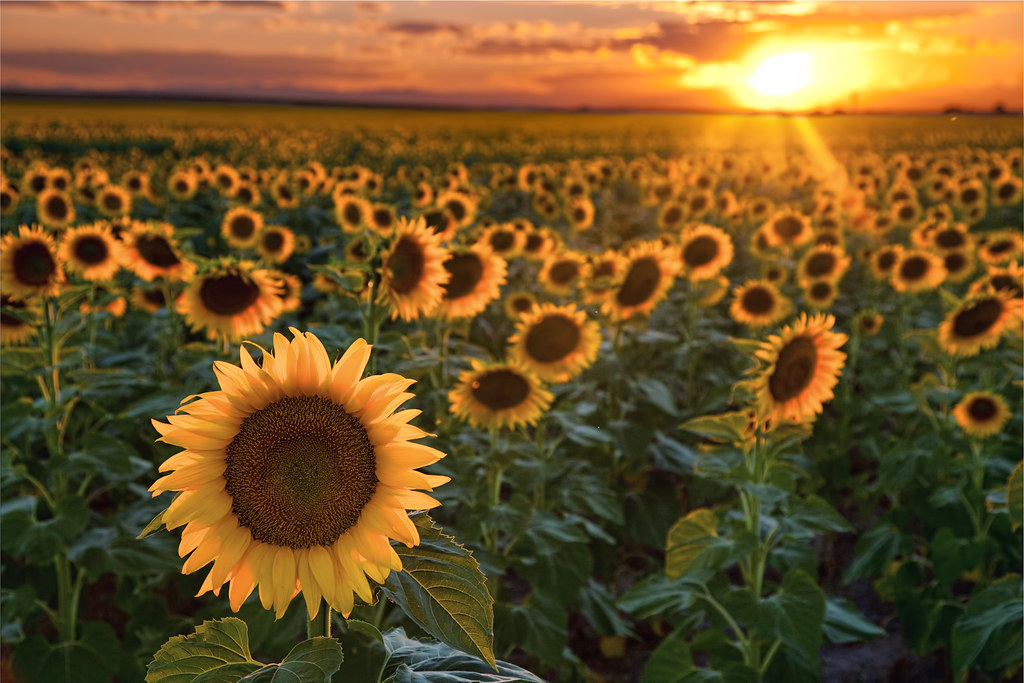 Fall Sunflowers Wallpaper Sunflower Sunset I Ve Still Got Some Sunflower Pics From