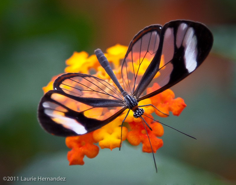 White Flower Wallpaper 3d Glasswing Butterfly On Flower Laurie Hernandez Flickr