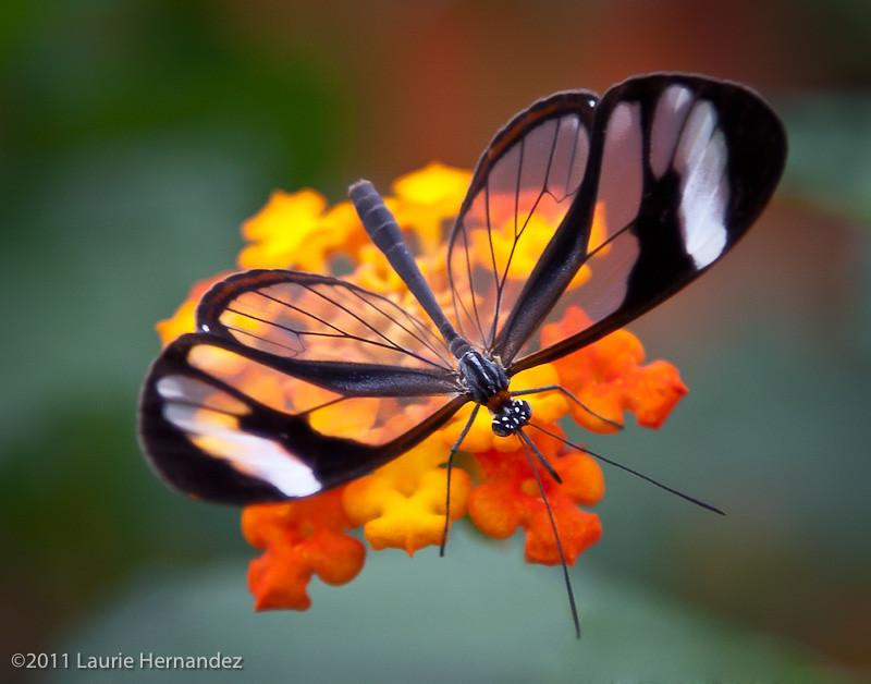 Free 3d Flower Wallpaper Glasswing Butterfly On Flower Laurie Hernandez Flickr